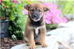 Picture of Hanna - Shiba Inu Mix Female