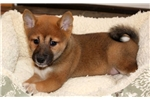 Picture of Macho - Shiba Inu Male