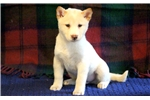 Picture of Petey - Shiba Inu Male