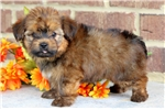 Picture of Sailor - Shorkie Male