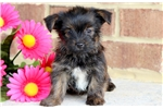 Picture of Sissy - Shorkie Female