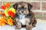 Picture of Socks - Shorkie Male