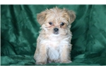 Picture of Buddy - Shorkie Male