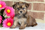 Picture of Snuffles - Shorkie Female