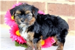 Picture of Sugar - Shorkie Female