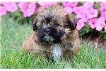 Picture of Kermit - Shorkie Male