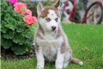 Picture of Nala - Siberian Husky Female