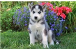 Picture of Kash - Siberian Husky Male