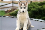 Picture of Niles - Siberian Husky Male