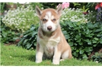 Picture of Chester - Siberian Husky Male
