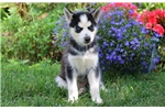 Picture of Kayla - Siberian Husky Female