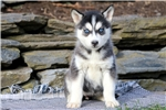 Picture of Peachy - Siberian Husky Female