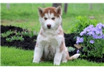 Picture of a Siberian Husky Puppy