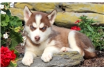 Picture of Sophie - Siberian Husky Female