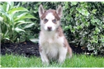 Picture of Bert - Siberian Husky Male