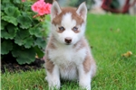 Picture of Nixon - Siberian Husky Male