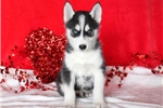Picture of Floyd - Siberian Husky Male