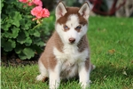 Picture of Nia - Siberian Husky Female