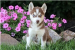 Picture of Dimples - Siberian Husky Female