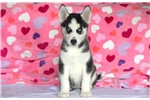 Picture of Morgan - Siberian Husky Female