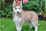 Picture of Nitro - Siberian Husky Male