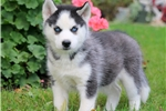 Picture of Nate - Siberian Husky