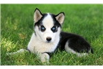 Picture of Willow - Siberian Husky Female