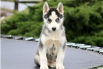 Picture of Nick - Siberian Husky Male