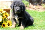 Picture of Harley - Tibetan Mastiff Male