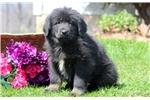 Heaven - Tibetan Mastiff Female | Puppy at 26 weeks of age for sale