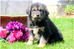 Hanna - Tibetan Mastiff Female | Puppy at 26 weeks of age for sale