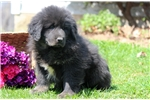 Hope - Tibetan Mastiff Female | Puppy at 26 weeks of age for sale
