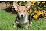 Picture of Scruffy - Welsh Corgi Male