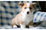 Picture of Mighty - Welsh Corgi Male