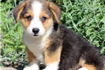 Picture of Cooper - Welsh Corgi Male