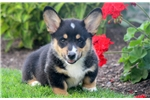 Picture of Turner - Welsh Corgi Male