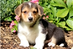 Picture of Tinker - Welsh Corgi Male