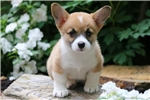 Picture of Sweetie - Welsh Corgi Female