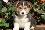 Dallas - Welsh Corgi Male | Puppy at 8 weeks of age for sale