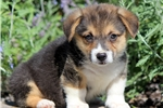 Picture of Cannon - Welsh Corgi Male
