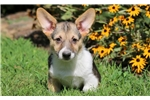 Picture of Scotty - Welsh Corgi Male