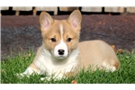 Picture of Tilly - Welsh Corgi Female