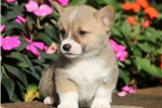 Picture of Joey - Welsh Corgi Male