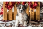 Picture of Jackson - Welsh Corgi Male