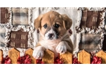 Picture of Justin - Welsh Corgi Male