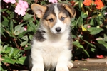 Picture of Dusty - Welsh Corgi Male