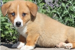Picture of Champ - Welsh Corgi Male