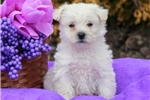Picture of Sophia - Westiepoo Female
