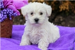 Picture of Skyler - Westiepoo Female