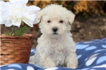 Picture of Skippy - Westiepoo Male